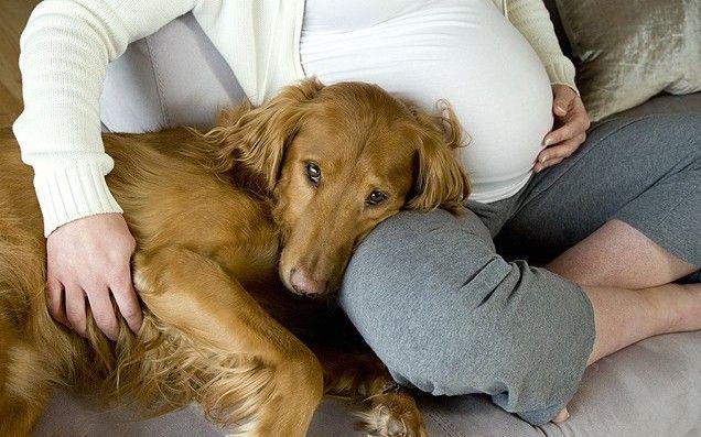 Собаки помогают беременным